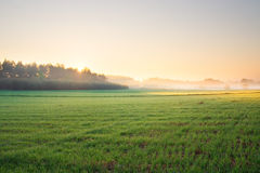 Sunrise on young rye field Stock Image