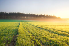 Sunrise on young rye field Royalty Free Stock Photo