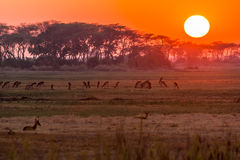 Sunrise in zambia. Sunrise in kafue national park in zambia with antelopes Stock Image