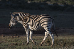 Sunrise Zebra Royalty Free Stock Image