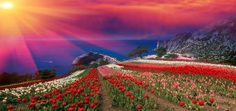 Sunrises and sunsets with tulips in the Crimea. Sunrises and sunsets in the Crimea are extremely picturesque. On the background of blue sea grow beautiful Stock Photo
