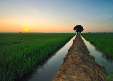 Sunrising at paddy field Royalty Free Stock Photo