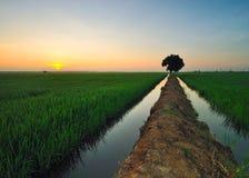 Sunrising at paddy field Royalty Free Stock Photo