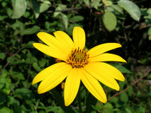Sunroot flower Royalty Free Stock Images