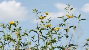 Sunroot Jerusalem Artichoke, Helianthus tuberosus, topinambour flowers stock video