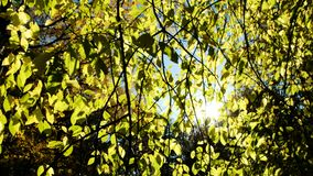Suns rays shine through aspen branches in the fall, camera movement stock footage
