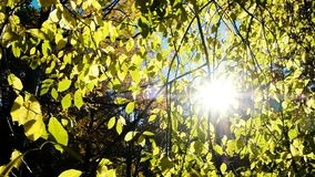 Suns rays shine through aspen branches in the fall, camera movement, slow motion stock video footage