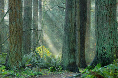 Suns Rays. Visible suns rays slanting down at an angle into forest. Large trees in foreground with moss Stock Image