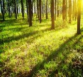 Suns Strahlen im Wald stockbild
