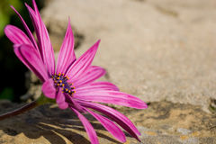 Sunscape Daisy resting on rock. A purple sunscape daisy focussed in the left of the frame, with rock texture background Royalty Free Stock Photography