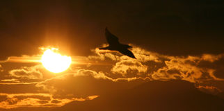 Sunset. Scenery with a seagull flying in front of the sun Stock Photos