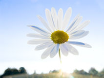 On a sunset. Flower of a field camomile on a background of the sky Royalty Free Stock Images