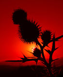 Sunset. With black thorny flower royalty free stock photo