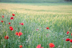 Sunset. Field with poppies on a sunset Stock Image