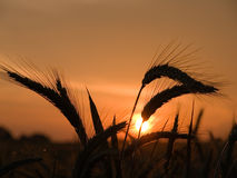 Sunset. Illustration of a sunset behind a wheat field Royalty Free Stock Image