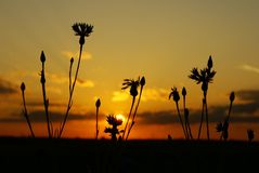 Sunset. Kind of a sunset through field flowers Stock Image