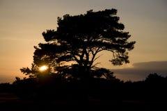 Sunset. And Scots pine on the Veluwe, Netherlands Stock Photo