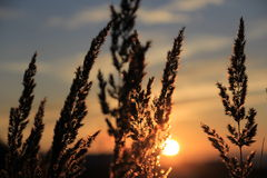 Sunset. Plants with a sunset background stock photography