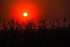 Sunset. Beautiful sunset in danube delta with the sun setting beyond the reeds royalty free stock image