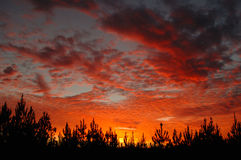 Sunset. On cloudy day above southern pine forest Stock Images