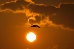 Sunset. Egrets playing in the  sunset Stock Images