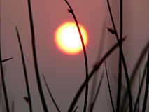 Sunset. Grassy reeds in front of a sunset Royalty Free Stock Photo