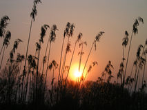 Sunset. With a cane plants royalty free stock photo