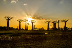 Sunset above Baobab avenue Royalty Free Stock Photos
