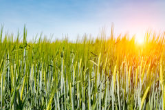Sunset above barley field Stock Photography