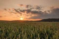 Sunset. Above the corn field royalty free stock photos