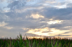 Sunset above a cornfield. Stock Image