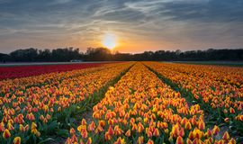 Sunset above the Dutch tulip fields,. The Dutch tulip fields have a special attraction to tourists from all over the world. The various bulb areas in the Stock Photo