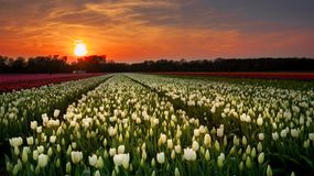 Sunset above the Dutch tulps fields, royalty free stock photo