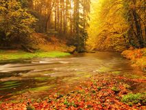 Sunset above mountain river covered by orange beech leaves. Bended branches above water Stock Image