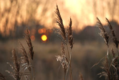 Sunset above the reed Royalty Free Stock Photo