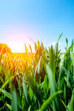 Sunset above wheat field Royalty Free Stock Images