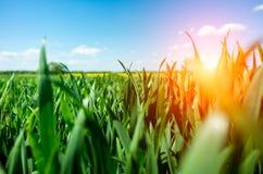 Sunset above wheat field Royalty Free Stock Photo