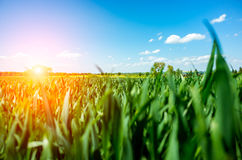 Sunset above wheat field Royalty Free Stock Photography