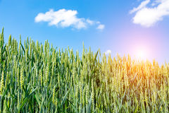 Sunset above wheat field Stock Photos