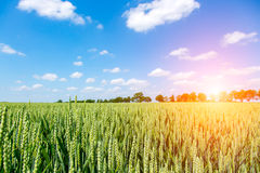 Sunset above wheat field Stock Photography