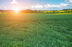 Sunset above wheat field Royalty Free Stock Image