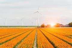Sunset above the windmills on the tulip field. Beautiful sunset above the windmills on the tulip field Stock Image