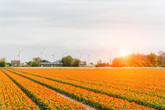 Sunset above the windmills on the tulip field Royalty Free Stock Image