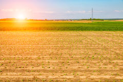 Sunset above young corn field Royalty Free Stock Photography