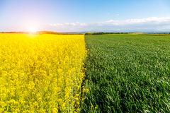 Sunset above young wheat and colza field Stock Image