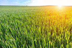 Sunset above young wheat field Stock Photos