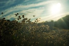 Sunset across flowers Royalty Free Stock Images