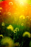 Sunset across flowers. And grass Stock Images