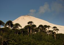Sunset on the active volcano Villarica in Pucon, southern Chile. Araucaria araucana trees in front Snow covered volcano Patagonia. Sunset on the active volcano stock image