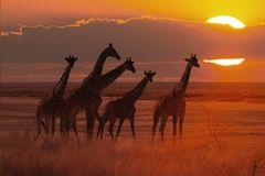 Sunset in african savanna with a giraffe herd stock photography